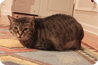 Domestic Shorthair Cat for adoption in Smyrna, Georgia - Purrdy