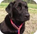 Labrador Retriever Dog for adoption in Houston, Texas - Byron