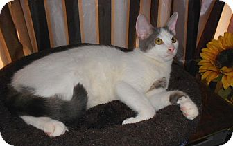 Domestic Mediumhair Kitten for adoption in Germantown, Maryland - Patches