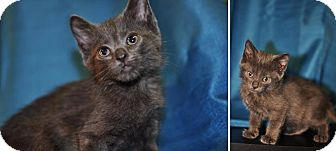 Domestic Shorthair Kitten for adoption in Gainesville, Florida - Amy