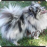Adopt A Pet :: Harvey - Escondido, CA