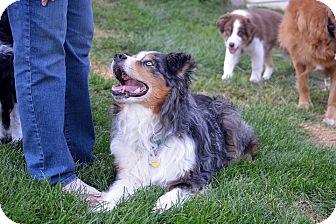 Australian Shepherd Dog for adoption in Washington, Illinois - Frankie