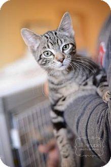 Domestic Shorthair Cat for adoption in Edwardsville, Illinois - Boson