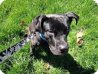 Bullmastiff/Labrador Retriever Mix Dog for adoption in Edgewater, New Jersey - Benny