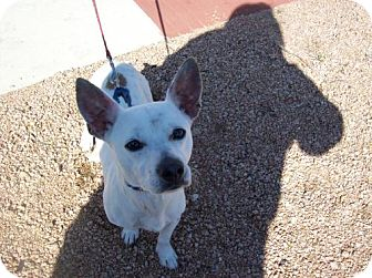 Jack Russell Terrier/Corgi Mix Dog for adoption in Von Ormy, Texas - Shorty