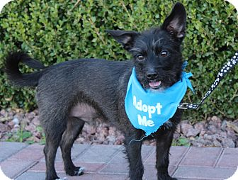 Fox Terrier (Wirehaired)/Poodle (Miniature) Mix Dog for adoption in Las Vegas, Nevada - SKIPPY (CAT FRIENDLY)