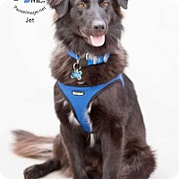 Adopt A Pet :: Jet (Courtesy Listing) - Scottsdale, AZ