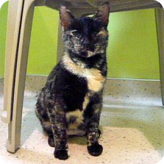 Domestic Shorthair Cat for adoption in Janesville, Wisconsin - Eliza