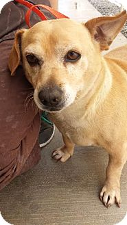 Chihuahua/Dachshund Mix Dog for adoption in Westminster, California - Yogie