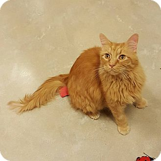 Domestic Longhair Cat for adoption in Chicago, Illinois - Mr Business