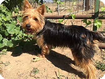 Silky Terrier Mix Puppy for adoption in Elk Grove, California - BOOMER