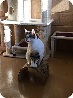 Domestic Shorthair Cat for adoption in Goshen, New York - Aurora
