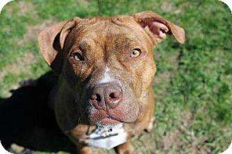 Pit Bull Terrier Dog for adoption in Framingham, Massachusetts - Almond