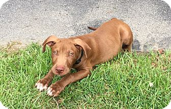 American Staffordshire Terrier/Labrador Retriever Mix Puppy for adoption in Matawan, New Jersey - Peanut (adoption pending)