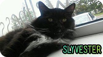 Domestic Longhair Cat for adoption in Trevose, Pennsylvania - Slyvester