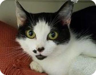 Domestic Shorthair Cat for adoption in Trevose, Pennsylvania - Jigsaw