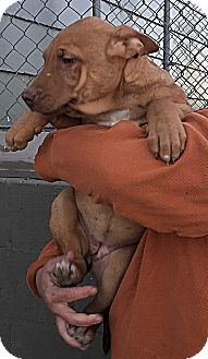 Belgian Malinois Mix Puppy for adoption in Littleton, Colorado - GIGI's Pups