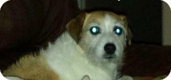 Jack Russell Terrier Mix Dog for adoption in Austin, Texas - Tiffi in San Antonio