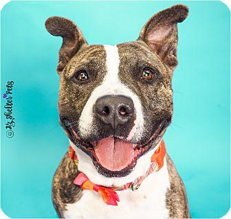 American Pit Bull Terrier/Labrador Retriever Mix Dog for adoption in Phoenix, Arizona - Sleepy