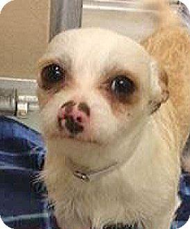 Terrier (Unknown Type, Small) Mix Dog for adoption in Spokane, Washington - Head Honcho