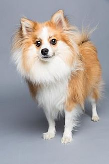pomeranian rescue sc columbia sc pomeranian mix meet brinkley a dog for 5718