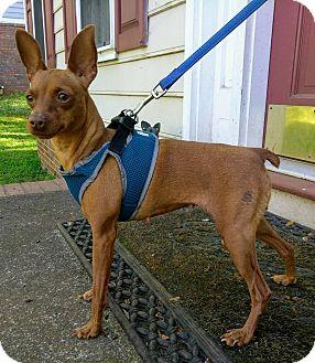 Miniature Pinscher Dog for adoption in Lawrenceville, Georgia - Hazel