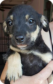 Dachshund/Miniature Pinscher Mix Puppy for adoption in Los Angeles, California - Stan Lee
