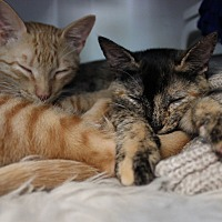 Domestic Shorthair Kitten for adoption in Los Angeles, California - Tortie and Red- bonded pair