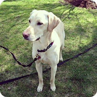 Labrador Retriever Mix Dog for adoption in Grafton, Massachusetts - Harley