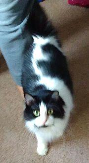 Siamese Cat for adoption in Goldsboro, North Carolina - Skelly