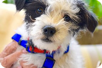 Terrier (Unknown Type, Small) Mix Puppy for adoption in San Diego, California - Petey