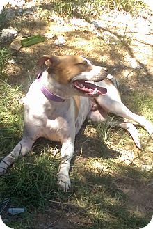 Boxer/American Staffordshire Terrier Mix Puppy for adoption in Albuquerque, New Mexico - BUDDY