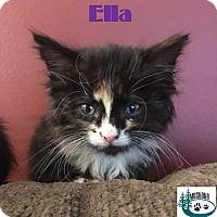 Adopt A Pet :: Ella - Fluffy girl! - Huntsville, ON