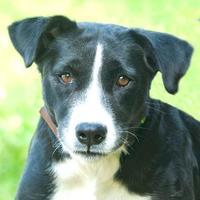 Adopt A Pet :: Liberty *HW* - Ashland, VA
