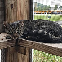 Adopt A Pet :: Fig - New Milford, CT