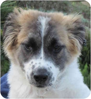 Australian Shepherd/Border Collie Mix Puppy for adoption in Poway, California - Andy