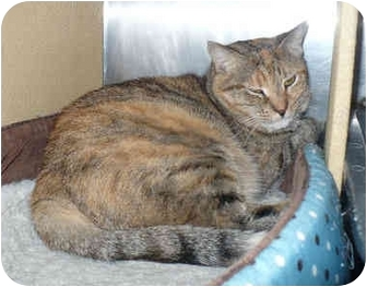 Domestic Shorthair Cat for adoption in Colmar, Pennsylvania - Claire