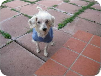 Maltese/Bichon Frise Mix Dog for adoption in Spring City, Tennessee - Dr. Teeth