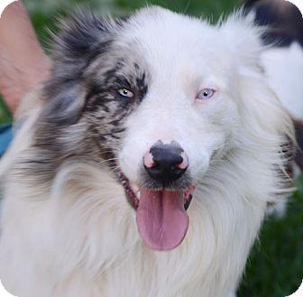 Australian Shepherd Mix Dog for adoption in Allentown, Pennsylvania - Aussi