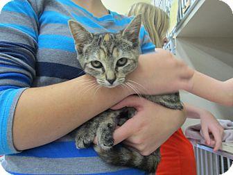 Domestic Shorthair Kitten for adoption in Riverhead, New York - Suzuki