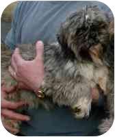 Shih Tzu Dog for adoption in Warren, New Jersey - Kisses