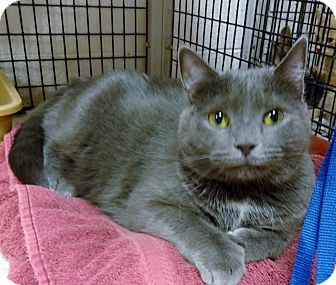 Domestic Shorthair Cat for adoption in Marietta, Georgia - CASSIE (R)