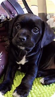 Labrador Retriever Mix Puppy for adoption in El Segundo, California - Lacy