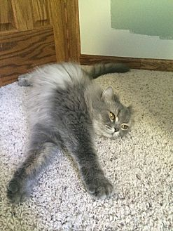 Persian Cat for adoption in Chesterfield Township, Michigan - Smokey