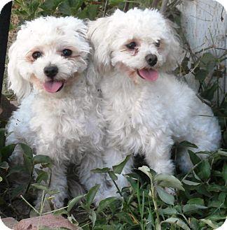 Maltese/Poodle (Miniature) Mix Dog for adoption in Seward, Alaska - Estrella and Daisy