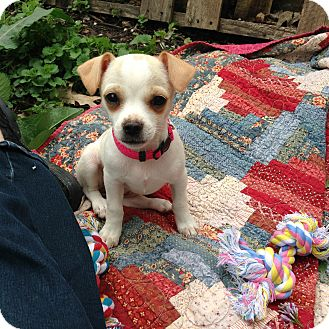 Chihuahua/Feist Mix Puppy for adoption in Bedminster, New Jersey - DIXIE