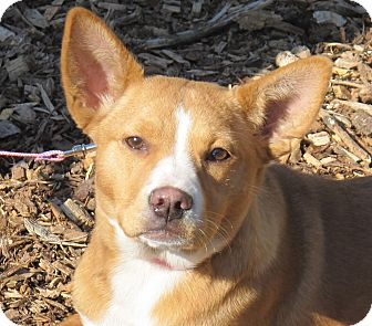 Basenji/Terrier (Unknown Type, Medium) Mix Puppy for adoption in Hagerstown, Maryland - Tulip