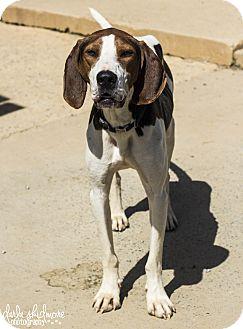 Treeing Walker Coonhound Mix Dog for adoption in Charlotte, North Carolina - Copper