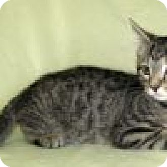 Domestic Shorthair Cat for adoption in Powell, Ohio - Rebel