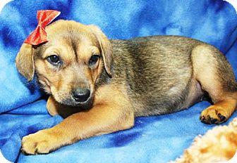 Labrador Retriever Mix Puppy for adoption in Cottageville, West Virginia - Aqua